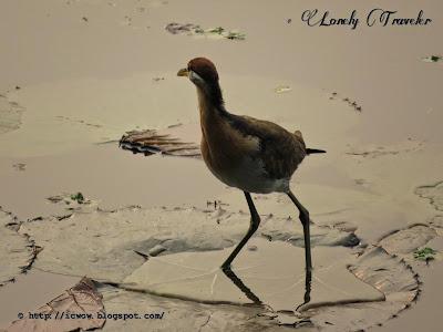 migratory birds, Jahangirnagar