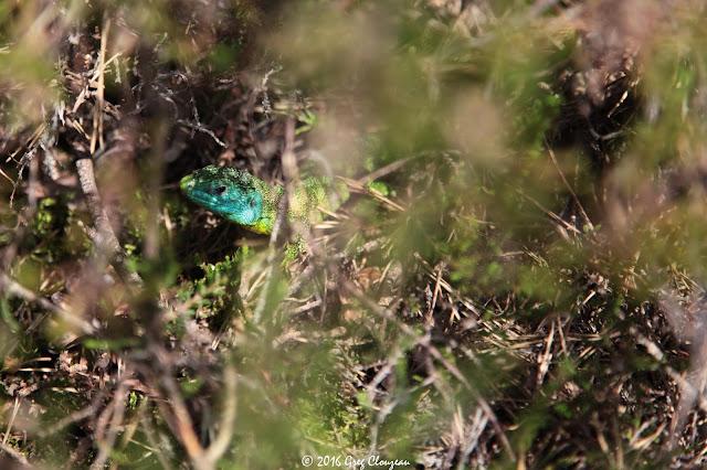 LEZARD VERT (Lacerta bilineata) mâle Fontainebleau (C) 2016 Greg Clouzeau