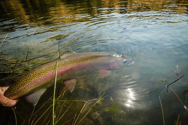 Held Rainbow Trout