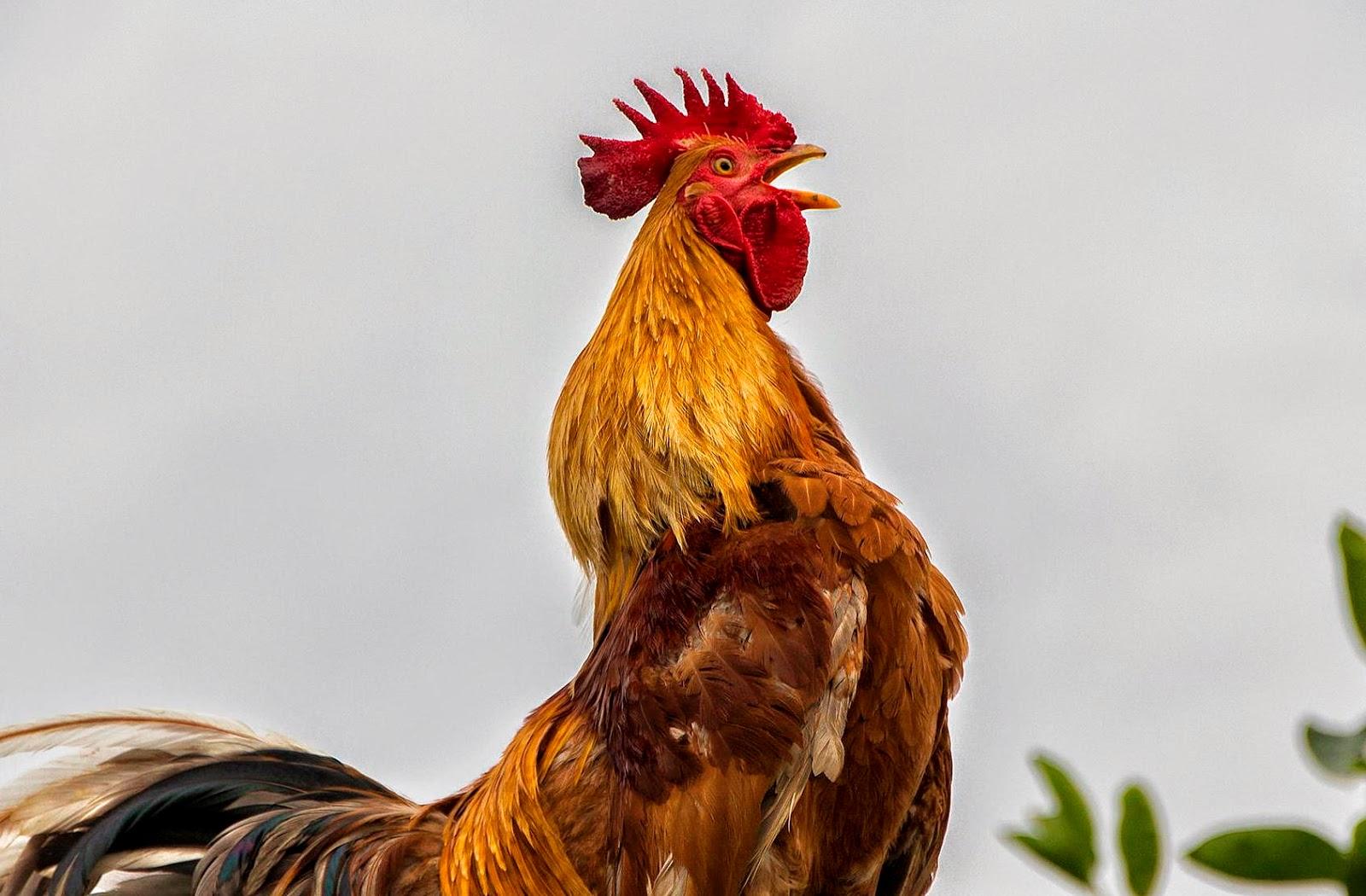 62+ Gambar Ayam Berkokok Kekinian