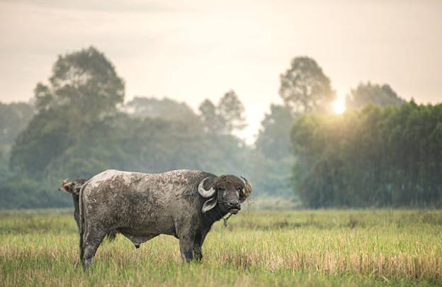 gado-galeria-animal-bufalo