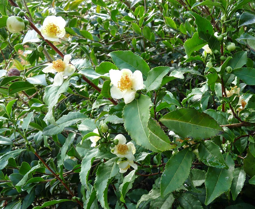 Do You Know What Your Favorite Foods Look Like While Growing - Camelia Sinensis is the species of plant whose leaf bud and leafs are used to produce tea. It is also called the tea plant.