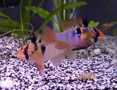 German Blue Ram eggs