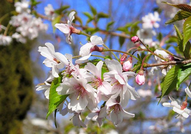flores ameixeiras