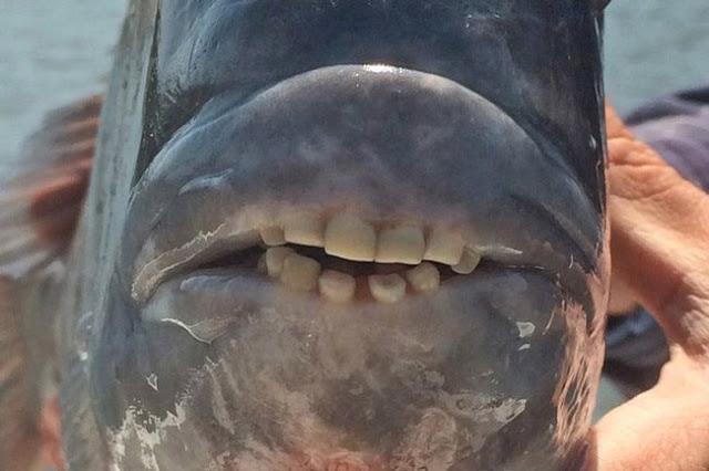 Kỳ lạ loài cá với hàm răng giống người, có thể nhai cả thế giới