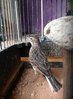 Suara Burung Branjangan NTB