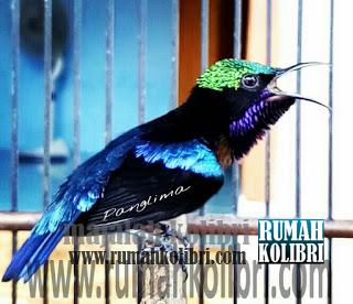 ciri ciri kolibri lomba