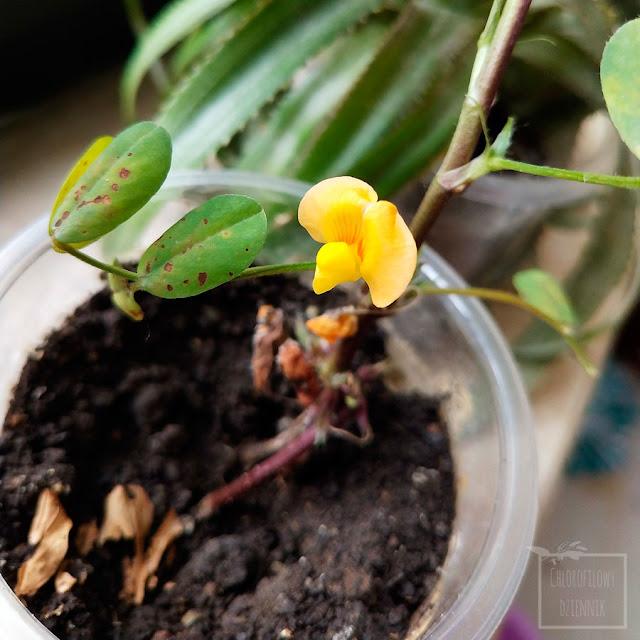 Peanut, orzech arachidowy, ziemny, orzacha podziemna (Arachis hypogaea) - uprawa w donczce, kwitnienie, kwiaty, jak kwitnie orzech ziemny, hodowla orzeszka ziemnego z nasionka, owocowanie, jak długo kwitnie orzech. rośliny geokarpiczne