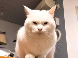 القطة البيضاء في المنام فهد العصيمي بالتفصيل