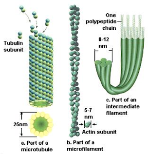 Mikrotubul dan mikrofilamen