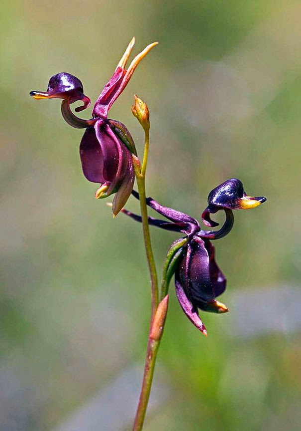 Flying Duck Orchid (Caleana Major) - 17 Flowers That Look Like Something Else