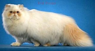 Ingin Beli Kucing Persia? Kenali Dulu Ciri-cirinya