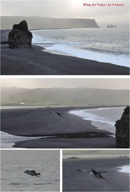 El mirador de Dysloraley en Islandia es un lugar privilegiado para observar el vuelo de los frailecillos.