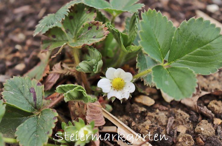 Erdbeere-Steiermarkgarten