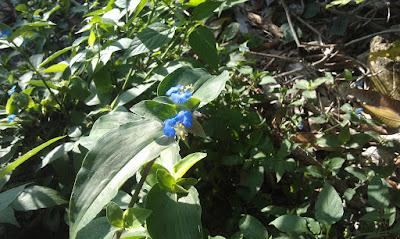 Commelina erecta, hierba de Santa Lucia