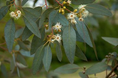 Eucalyptus en thee uit Zundert!