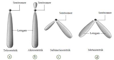 Macam-Macam Bentuk, Struktur, Ukuran, Jumlah dan Tipe-Tipe Susunan Kromosom Pada Makhluk Hidup