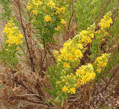 Flores amarillas de Solidago virgo-aurea