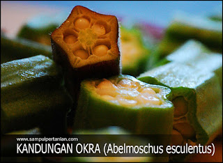 KANDUNGAN TANAMAN OKRA (Abelmoschus esculentus)
