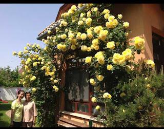 tree rose hoa hong leo