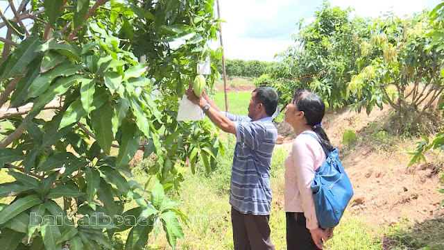 Thu hoạch trái mùa - dân trồng xoài phấn khởi