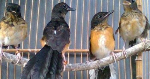 Abang Kicau Mania Harga Jual Burung Anakan Murai Batu