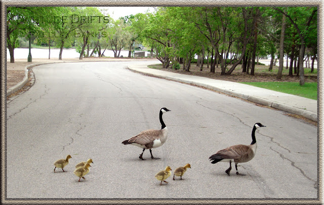Canada geese with five goslings cross the road in Regina's Wascana Park