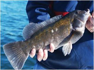 Nama Nama Ikan Laut Dangkal TAUTOG / BLACKFISH ( TAUTOGA ONITIS )
