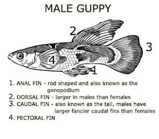 Gambar perbedaan ikan guppy jantan