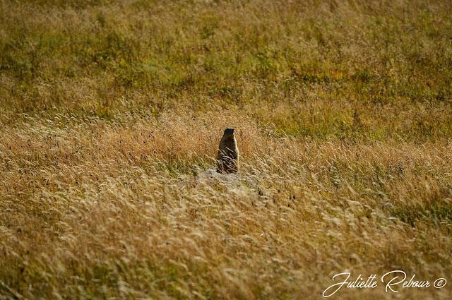Randonnée en savoie, Marmotte