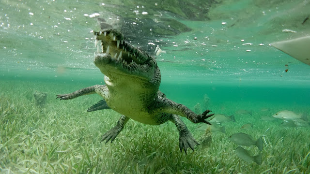 Snorkeling with a crocodile