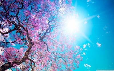 Arbre Cerisier du Japon et Soleil - Fond d'Écran en Quad HD 1440p