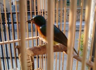 yaitu merupakan jenis burung yang mempunyai ukuran kecil  Kolibri Agar Cepat Gacor