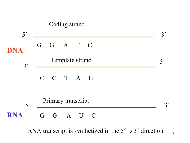 Mybiochemistry transcription the rna transcript carries the same information as the non template coding strand of dna but it contains the base uracil u instead of thymine t pronofoot35fo Image collections