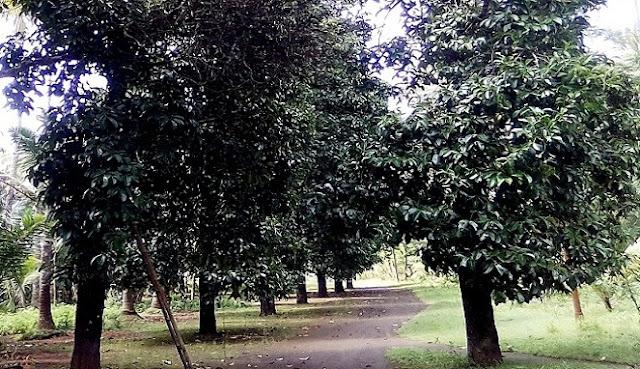 Pohon Manggis Berumur 100 Tahun menjadi Sumber Penghasilan Warga di Kecamatan Ambal