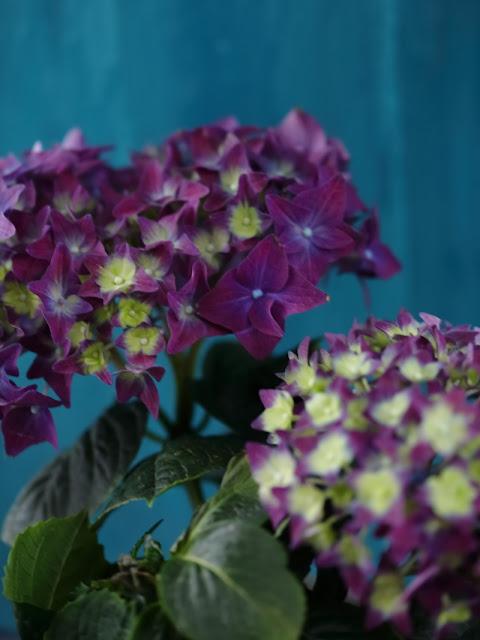 taustaväri, hortenssia, violetti