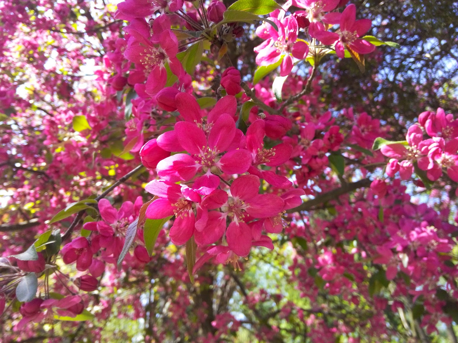 iubesc natura arbusti ornamentali flori roz
