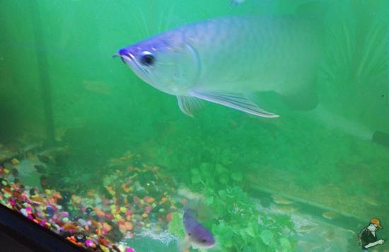 Tips Newbie Untuk Bela Ikan Arowana