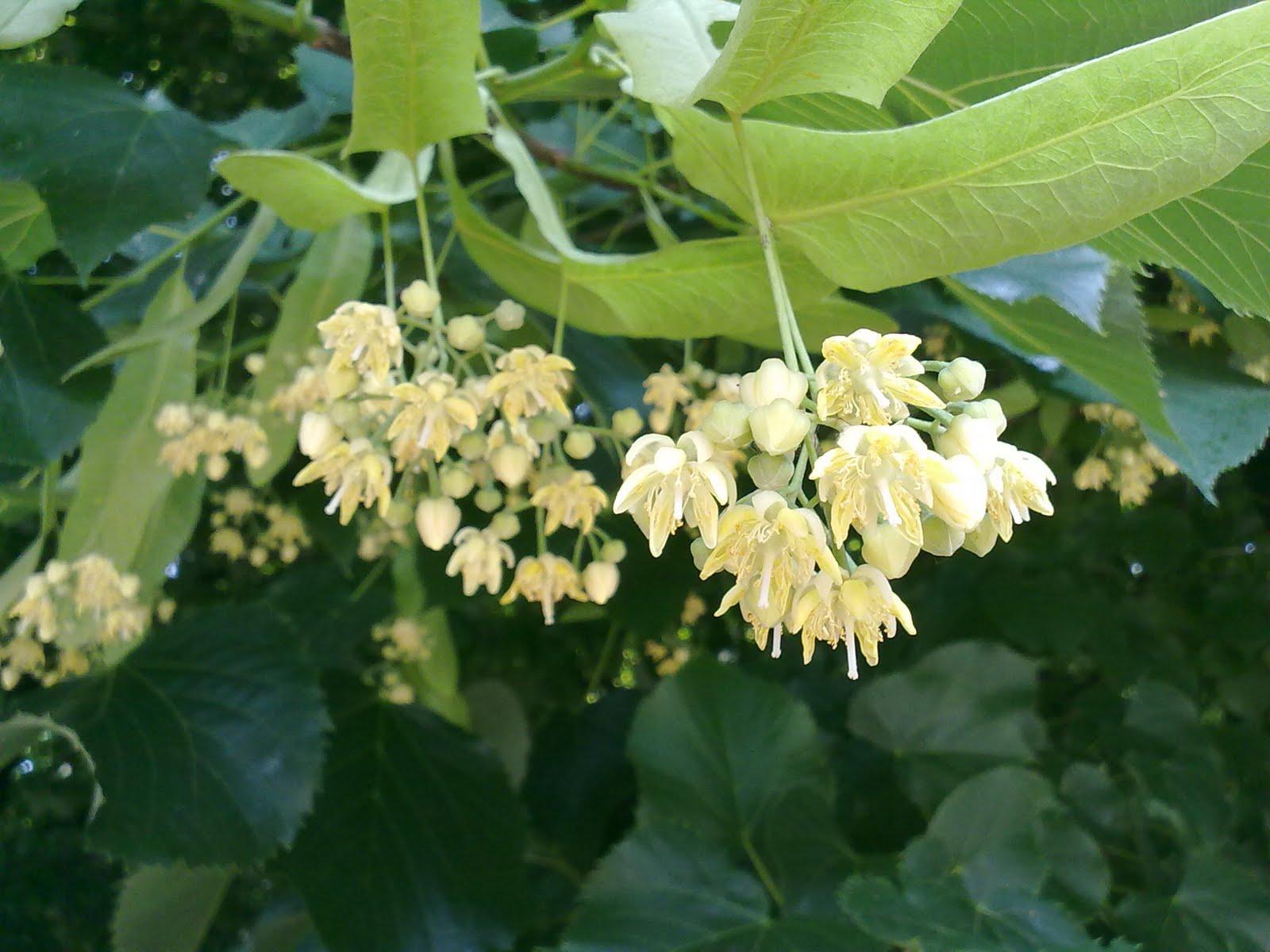 Tutti pazzi per le piante fragranza di tiglio - Alberi da giardino con fiori ...