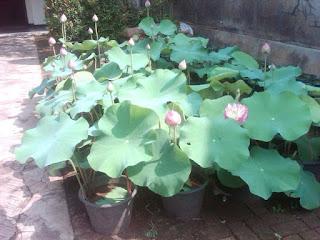 <img scr='nama_file_gambar.jpg'  alt='Tanaman Hias Air Lotus' />