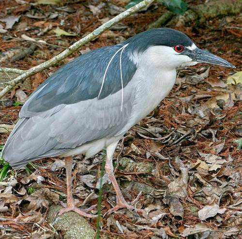 Black-crowned night heron - Nycticorax nycticorax