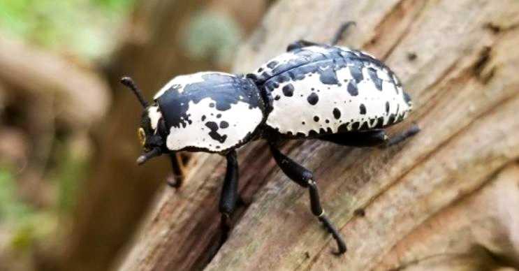 Zopherus, Amerika'da yaşayan siyah ve beyaz renklerdeki bir böcektir.