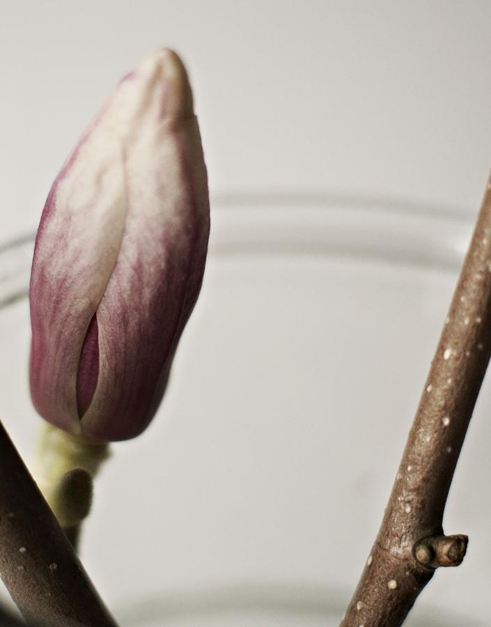geschlossene Magnolienblüte mit rosé Schimmer