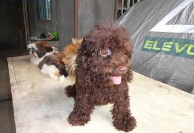 Pet Catalog Shih Tzu Poodle And Pomeranian For Sale