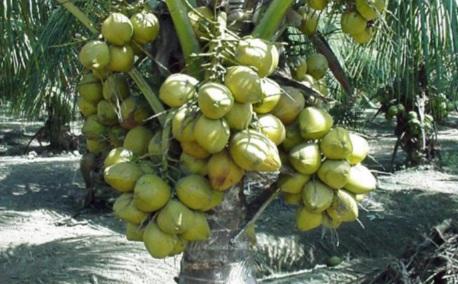 bonsai kelapa hibrida terbaik indonesia