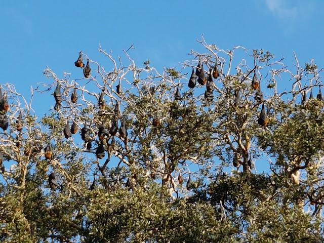 Fruit bats Centennial Park Sydney Australia