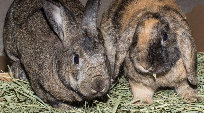 dp bbm gambar kelinci lucu gambar kelinci rex gambar kelinci raksasa bulu