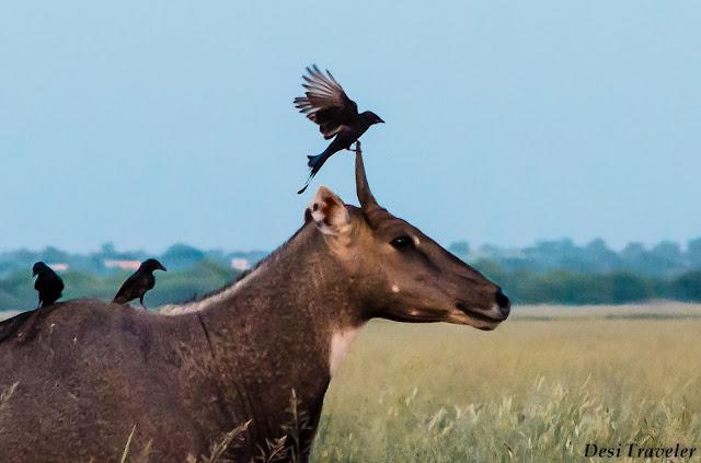 Nilgai and drango at Tal Chapar wildlife sancturay Rajasthan