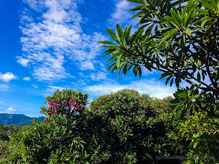 Frangipani Flower Trees Garden In The Warmth Sunhine In The Morning At Ringdikit Village, North Bali, Indonesia