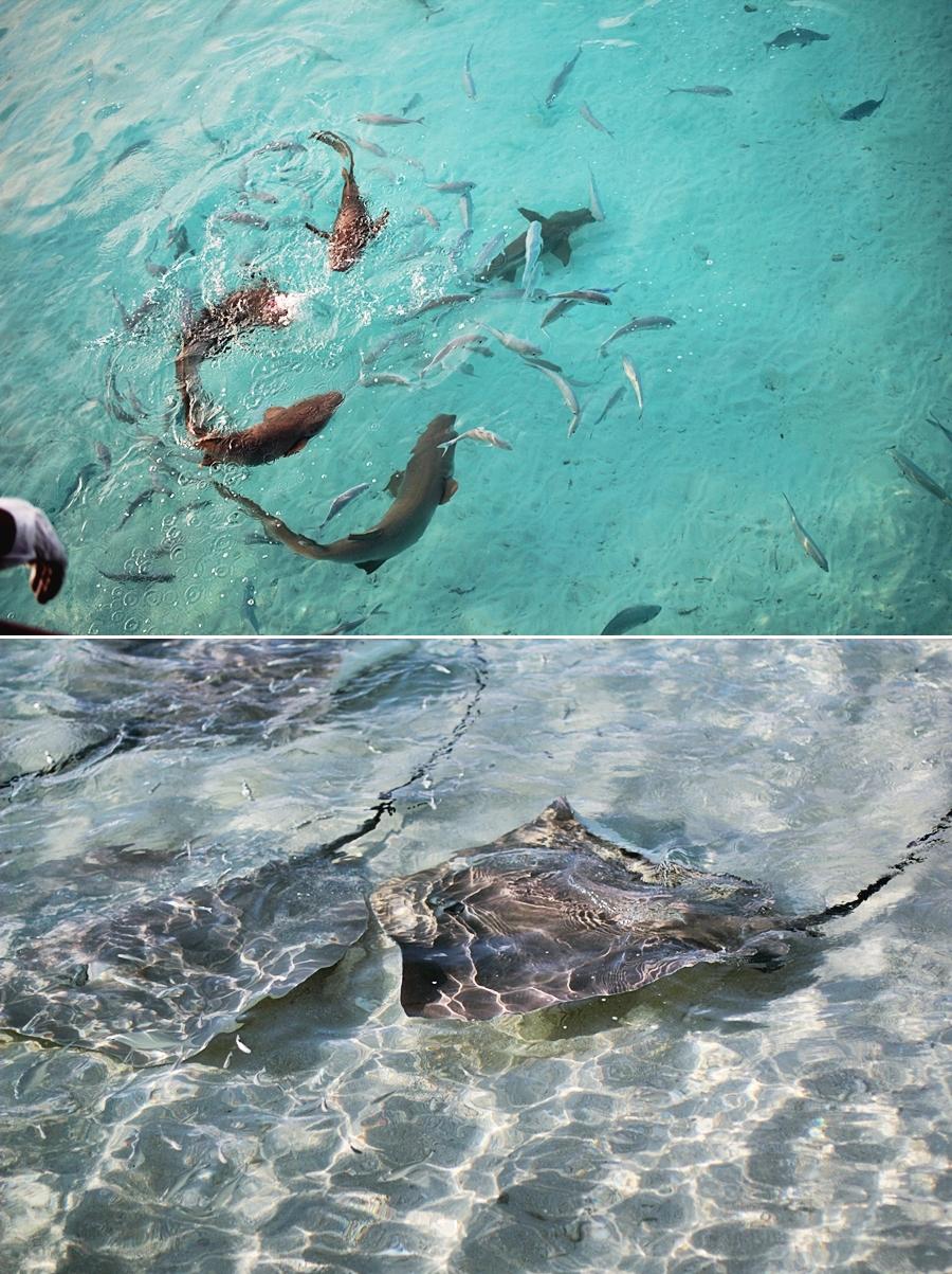 malediven manta hai tauchen schnorcheln